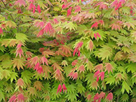 Trees / Japanese Maples